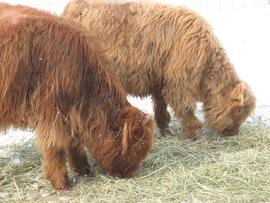 Two grazing highland beef cows in a wintery scene.